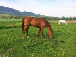 Aibas geniesst mit seinem Freund Zahyr die grossen Weiden. – Fotos: zvg